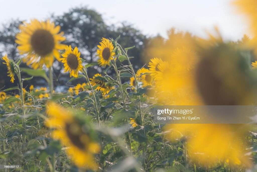 Closeup of yellow flowers growing in field stock photo getty images close up of yellow flowers growing in field stock photo mightylinksfo