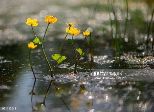 Close-Up Of Yellow Flowers Growing In Water
