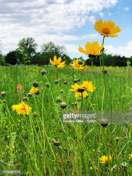 close-up of yellow flowers growing on field - rowena miller stock photos and pictures
