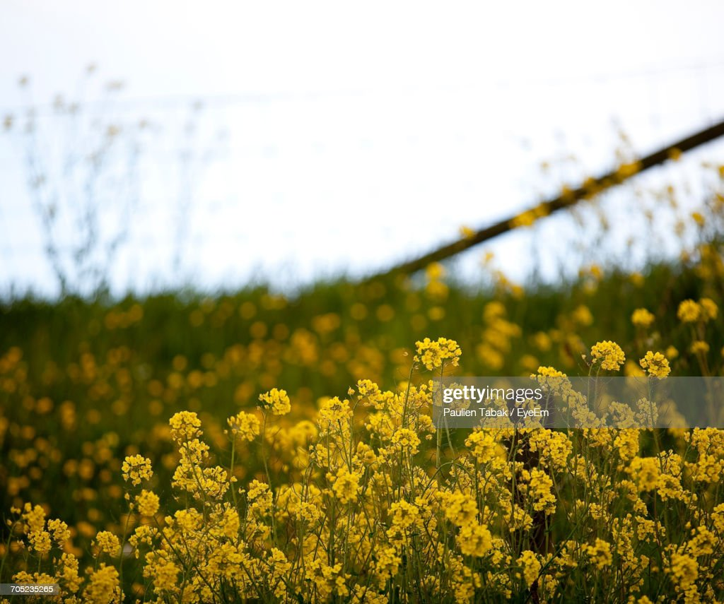 Close-Up Of Yellow Flowers In Field : Stock-Foto