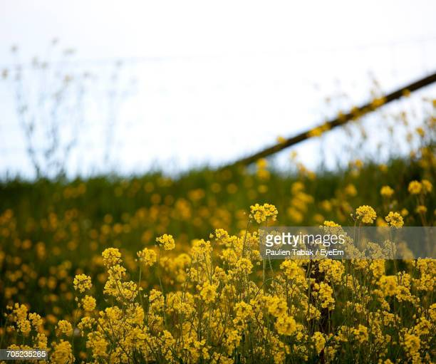 close-up of yellow flowers in field - paulien tabak stock-fotos und bilder