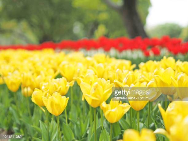 close-up of yellow flowers on field - 吹田市 ストックフォトと画像