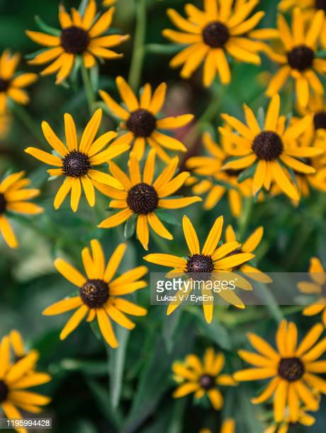 close-up of yellow flowers - leogang stock pictures, royalty-free photos & images