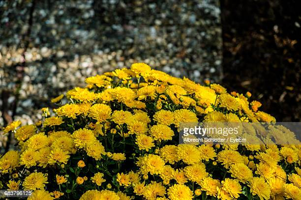 close-up of yellow flowers - albrecht schlotter stock photos and pictures