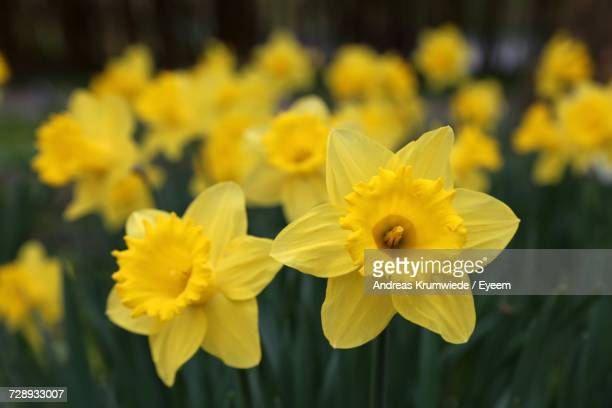 close-up of yellow flowers - daffodils stock photos and pictures