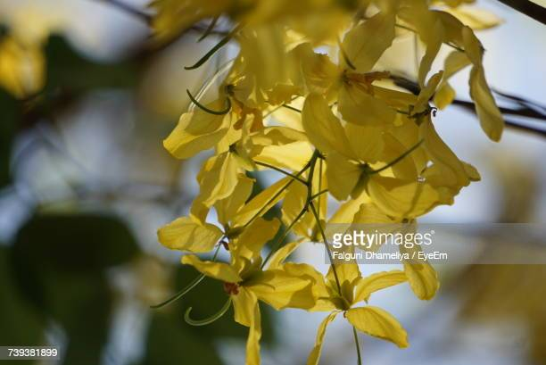 close-up of yellow flowers - falguni stock pictures, royalty-free photos & images
