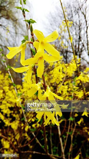 Close-Up Of Yellow Forsythia Flowers On Branch