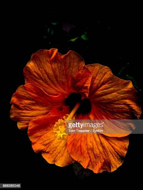Close-Up Of Yellow Hibiscus Blooming Against Black Background