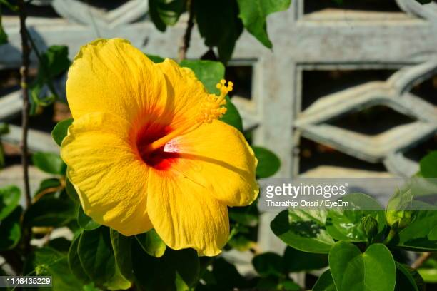 60 Top Hibiscus Yellow Leaves Pictures Photos And Images Getty Images