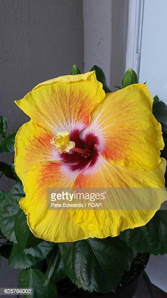 60 Top Yellow Leaves On Hibiscus Pictures Photos And Images Getty