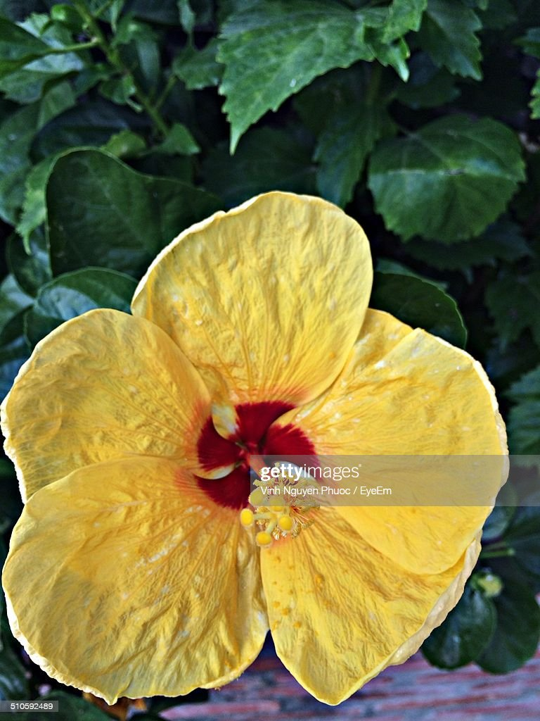 Closeup Of Yellow Hibiscus Flower With Red Center Stock Photo