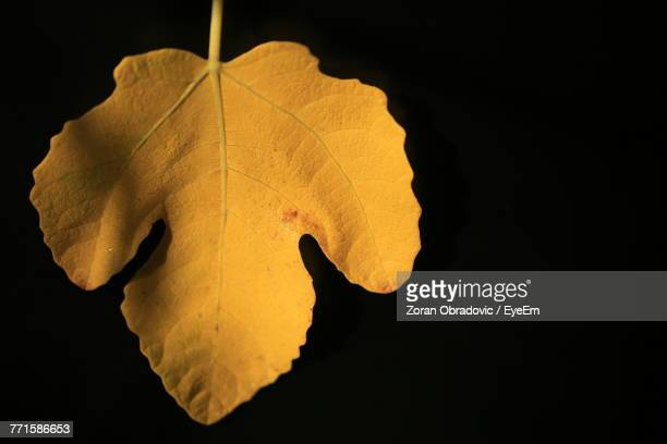 Close-Up Of Yellow Leaf Against Black Background