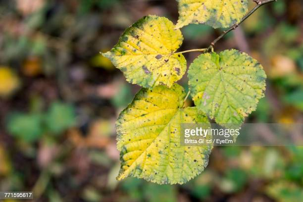 Close-Up Of Yellow Leaf During Autumn