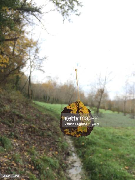 close-up of yellow leaf on field against sky - san miniato stock pictures, royalty-free photos & images
