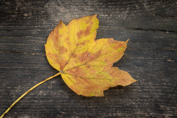 Close-up of yellow leaf on wooden table