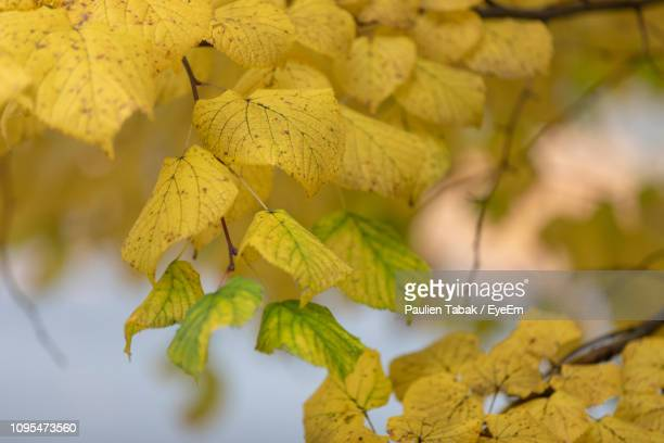 Close-Up Of Yellow Leaves On Plant During Autumn