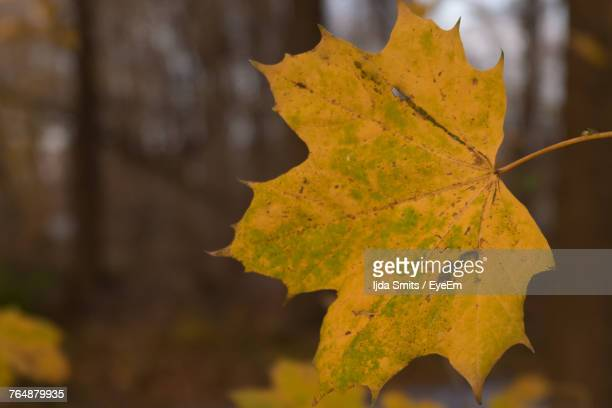 Close-Up Of Yellow Maple Leaf During Autumn