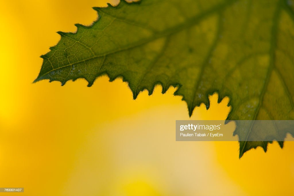 Close-Up Of Yellow Maple Leaf : Stockfoto