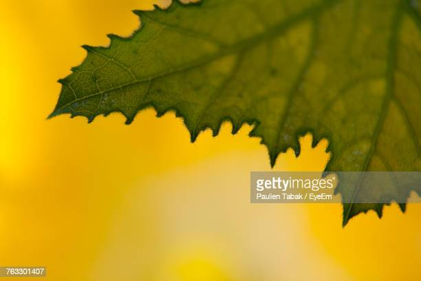 close-up of yellow maple leaf - paulien tabak stock pictures, royalty-free photos & images