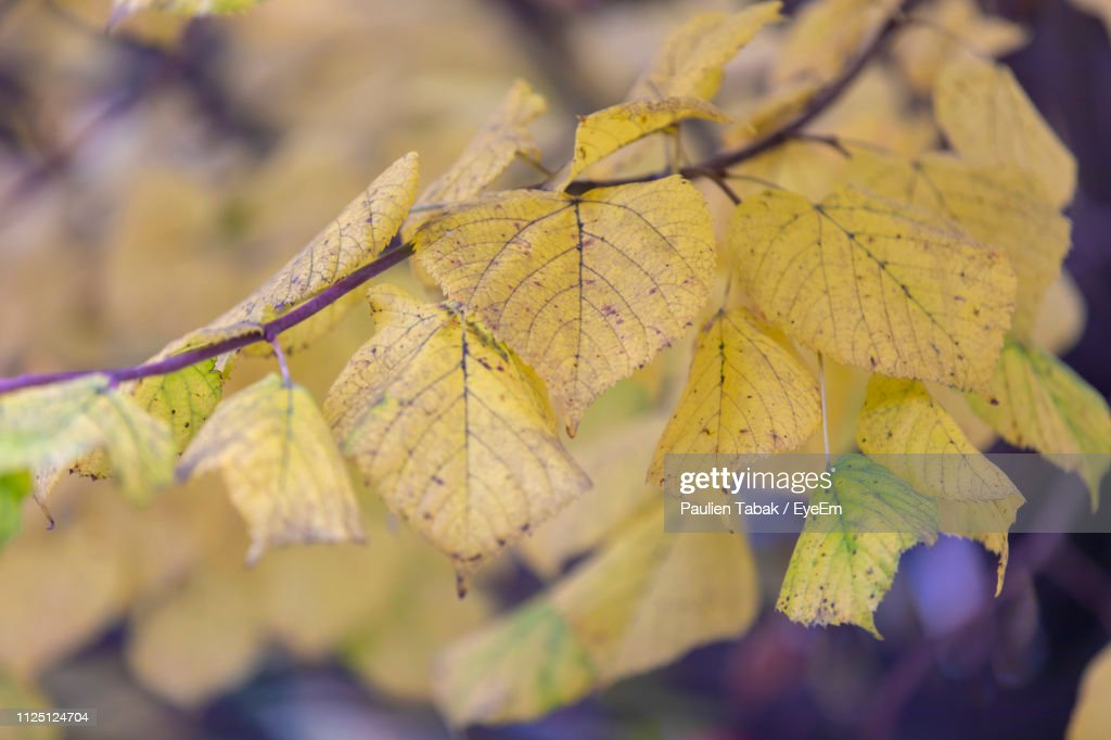 Close-Up Of Yellow Maple Leaves Against Blurred Background : Stockfoto