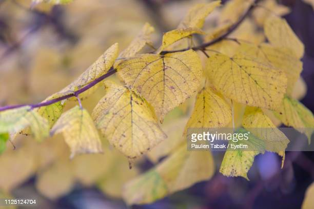 close-up of yellow maple leaves against blurred background - paulien tabak 個照片及圖片檔