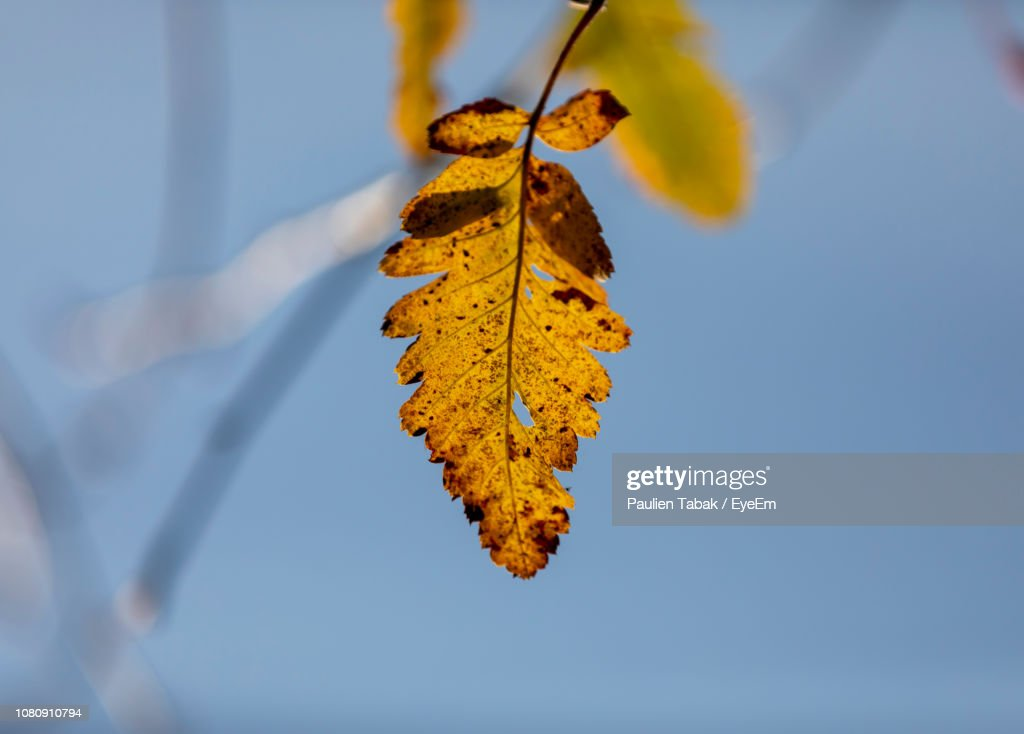 Close-Up Of Yellow Maple Leaves Against Sky : Stockfoto