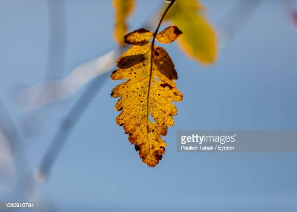 close-up of yellow maple leaves against sky - paulien tabak 個照片及圖片檔