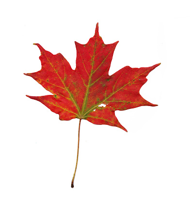 Close-Up Of Yellow Maple Leaves Against White Background - gettyimageskorea