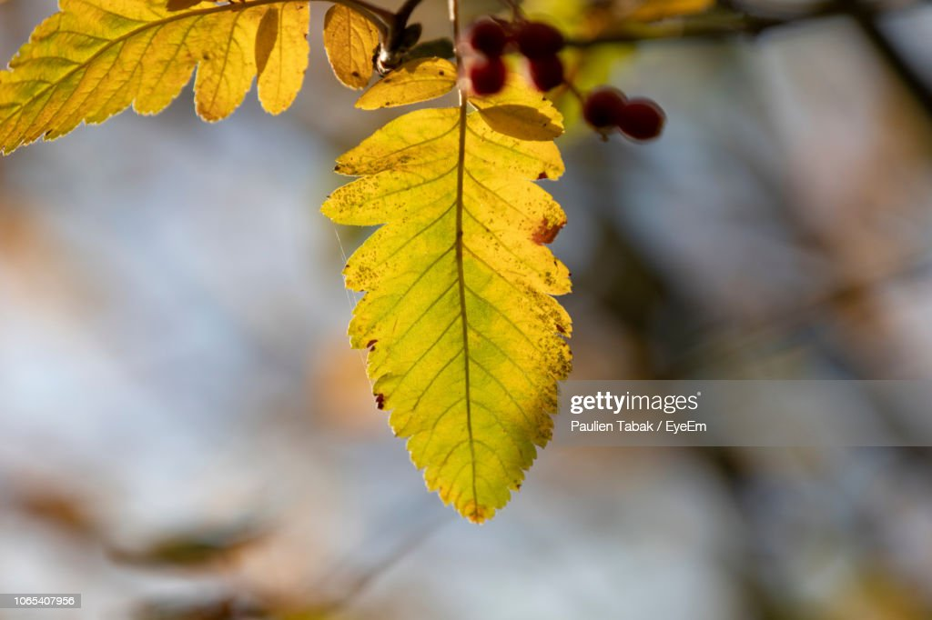 Close-Up Of Yellow Maple Leaves During Autumn : Stockfoto