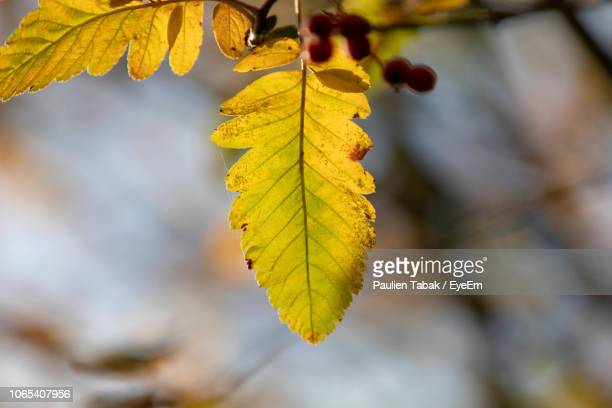 close-up of yellow maple leaves during autumn - paulien tabak stock-fotos und bilder