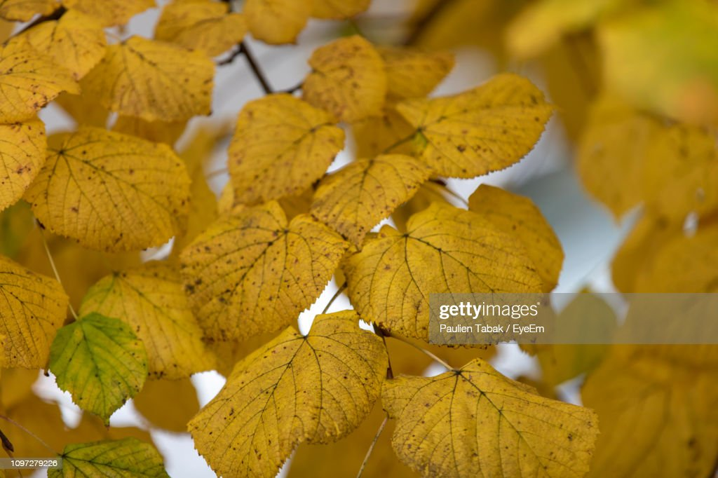 Close-Up Of Yellow Maple Leaves : Stockfoto