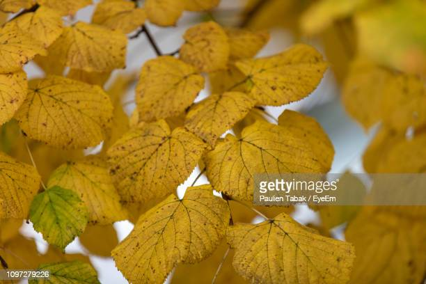 close-up of yellow maple leaves - paulien tabak 個照片及圖片檔