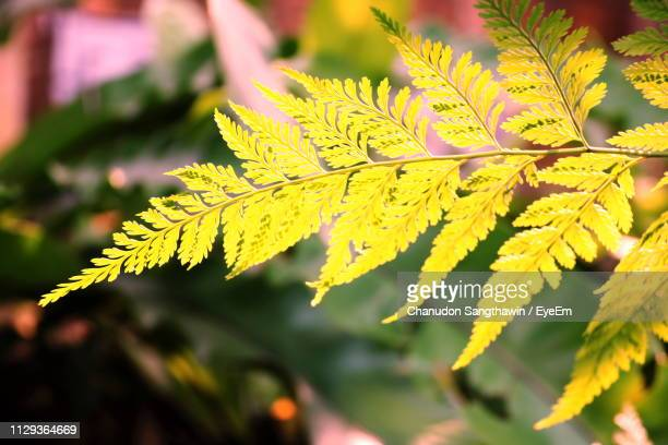 close-up of yellow maple leaves - chanudon eyeem stock photos and pictures