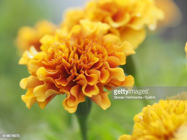 Close-Up Of Yellow Marigold Blooming Outdoors