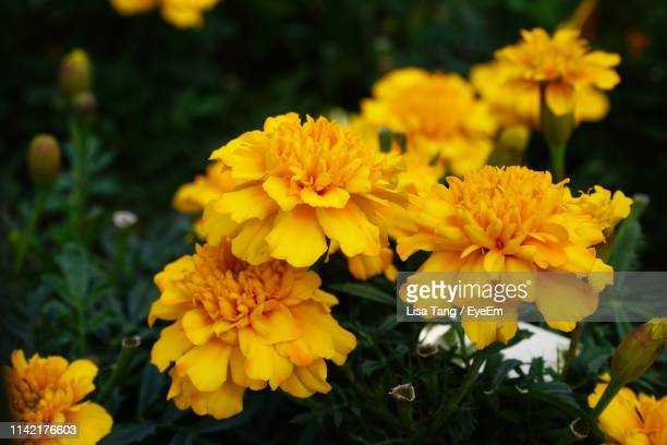 close-up of yellow marigold flowers - lisa tang stock photos and pictures