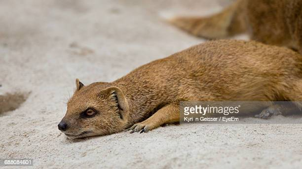 Close-Up Of Yellow Mongoose Lying On Ground