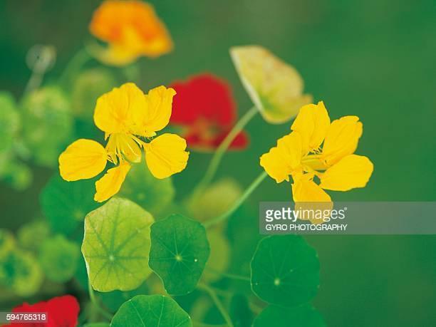 Close-up of yellow nasturtium flowers
