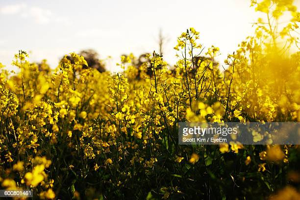 Close-Up Of Yellow Oilseed Rape Growing Plant At Field