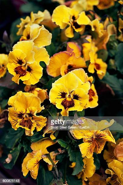 Close-Up Of Yellow Pansies Blooming Outdoors
