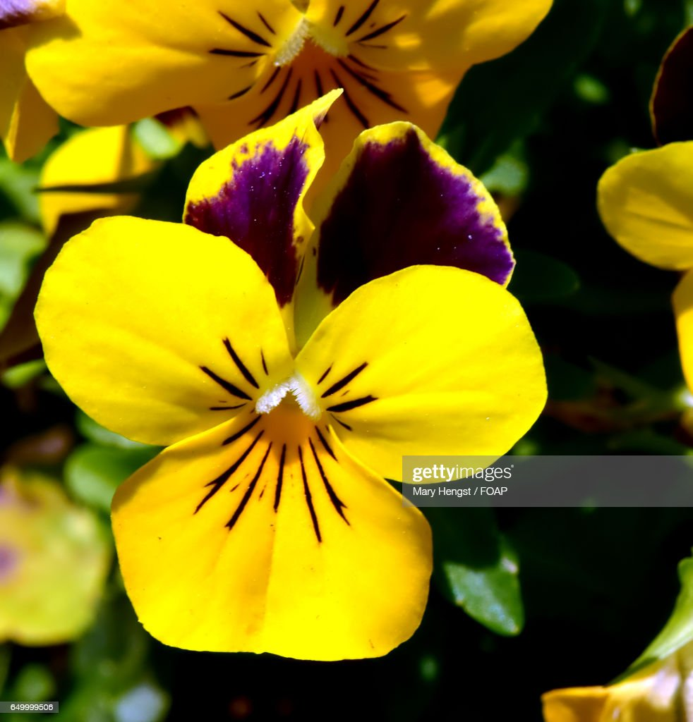 Closeup Of Yellow Pansy Flower Stock Photo Getty Images