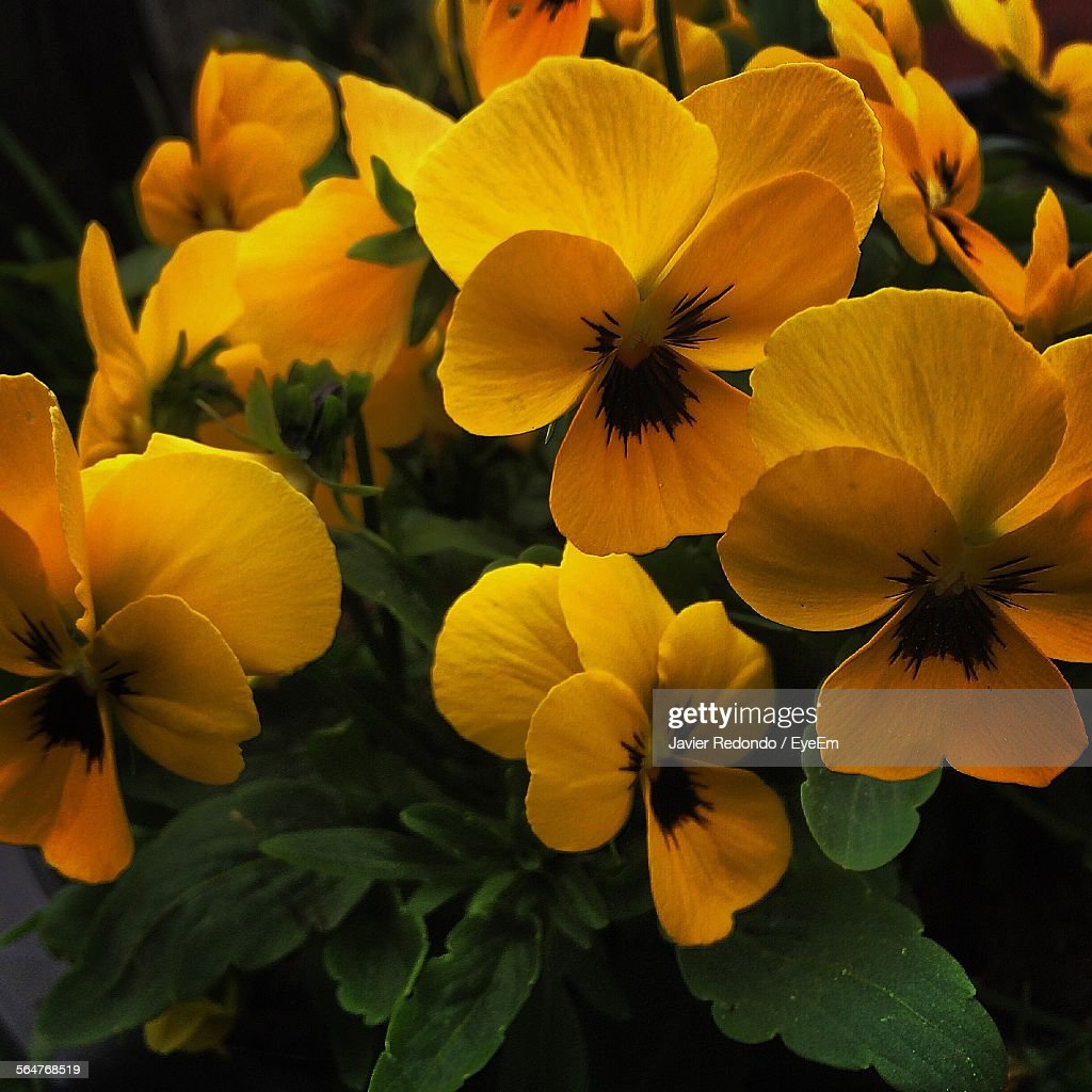 Closeup Of Yellow Pansy Flowers Stock Photo Getty Images
