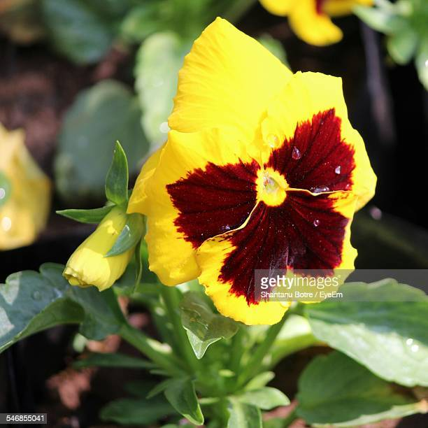 Close-Up Of Yellow Pansy In Park