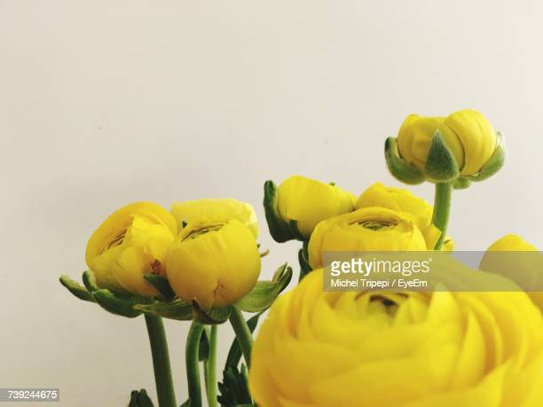Close-Up Of Yellow Ranunculus Flowers Against White Wall