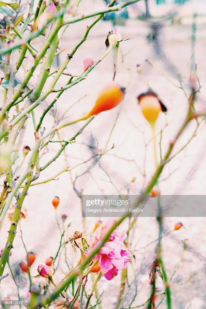 Close-Up Of Yellow Red Hips On Branch : Stock-Foto
