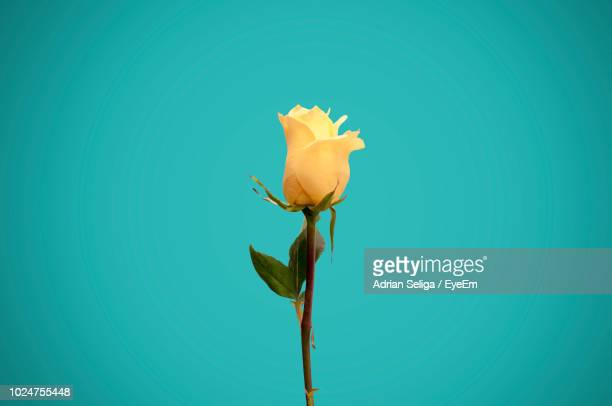 close-up of yellow rose against blue background - yellow roses stock photos and pictures