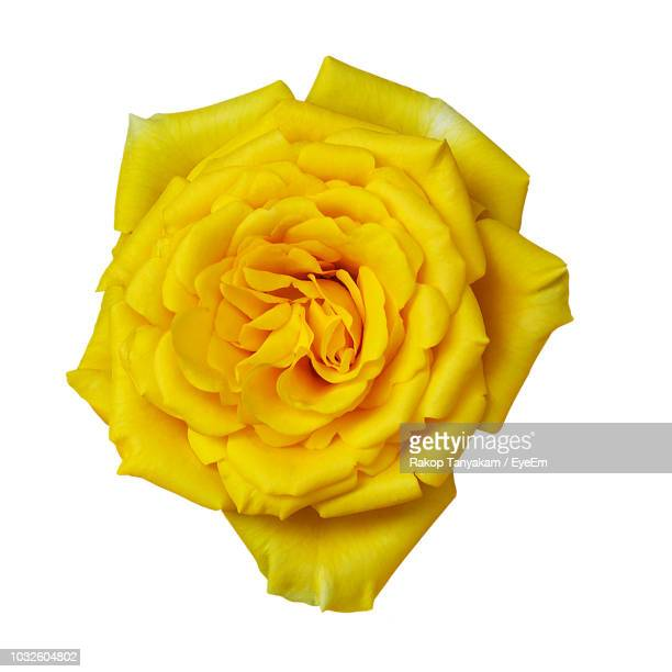 close-up of yellow rose against white background - yellow roses stock photos and pictures
