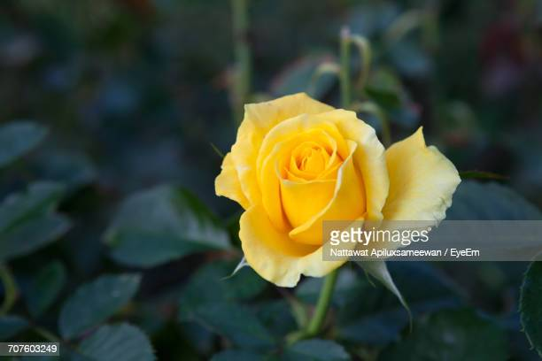 close-up of yellow rose blooming outdoors - yellow roses stock photos and pictures