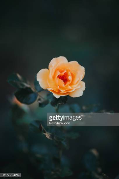 close-up of yellow rose flower blossoming in the garden - red roses garden stock pictures, royalty-free photos & images