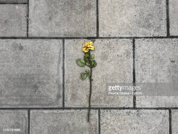 close-up of yellow rose flower on concrete wall - death stock pictures, royalty-free photos & images