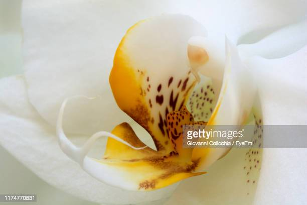 close-up of yellow rose flower - orchid stock pictures, royalty-free photos & images